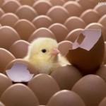 Тепловий стрес і здоров'я курчат